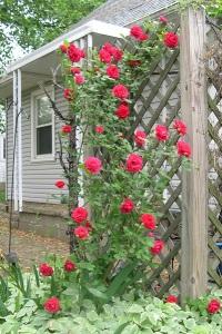 rose bush 2015