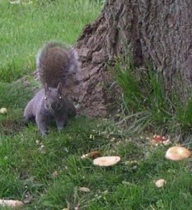 apples N squirrel
